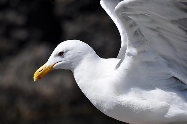 Gullwings-1.jpg